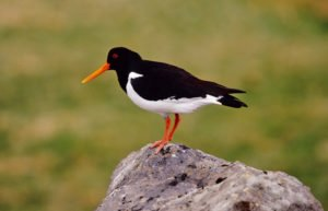 Best-of-North-Iceland - Birds-in-Iceland-1.jpg