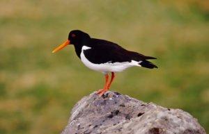 Best-of-North-Iceland - Birds-in-Iceland.jpg