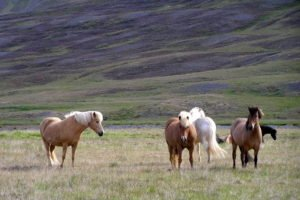 Best-of-North-Iceland - Horses-in-Iceland-1.jpg