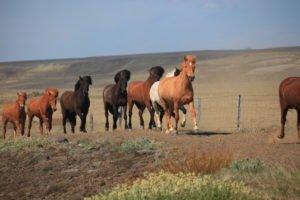 Spectacular-Iceland - Iceland-horses.jpg