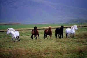 GJ-21-northen-lights-exploration - GJ-21-Iceland-horses.jpg