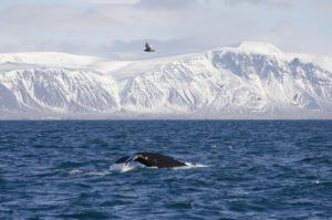 GJ-23-Aurora-Iceland - GJ-23-Whale-watching-in-the-bay-of-Reykjavik-1.jpg