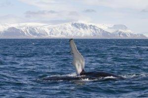 GJ-23-Aurora-Iceland - GJ-23-Whale-watching-in-the-bay-of-Reykjavik-2.jpg