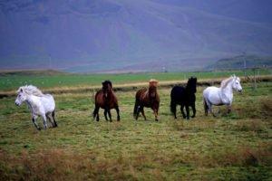 GJ-24-Land-of-northen-lights - GJ-24-Iceland-horses.jpg