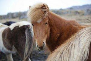 GJ-27-AURORAS-GLACIAL-LAGOON - GJ-27-Horses-in-Iceland.jpg