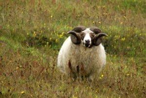 GJ-90-Iceland-country-life - GJ-90-Icelandic-sheep-near-Reynisfjara.jpg