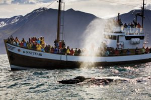 GJ-90-Iceland-country-life - GJ-90-Whale-watching-Husavik-Humpback-blowing.jpg