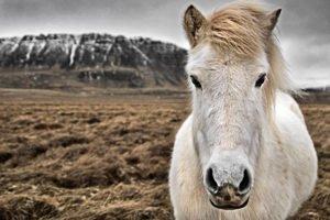 GJ-91-Express-iceland - GJ-91-Icelandic-horses-3.jpg