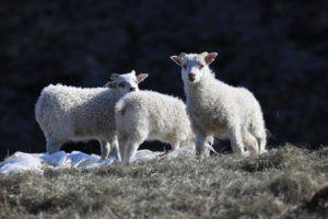 GJ-91-Express-iceland - GJ-91-More-sheep-than-people-in-Iceland.jpg