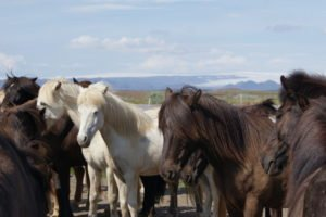 GJ-92-iceland-greenland-discovery - GJ-92-iceland-greenland-discovery-Golden-Circle-Horses.jpg