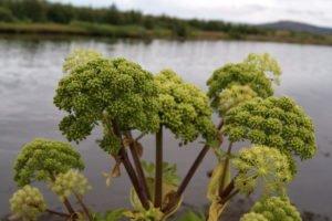 GJ-94-Iceland-in-a-nutshell - GJ-94-Angelica-plant-at-Thingvellir.jpg