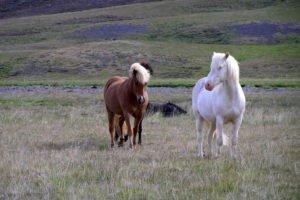 GJ-94-Iceland-in-a-nutshell - GJ-94-Horses-in-West-Iceland.jpg