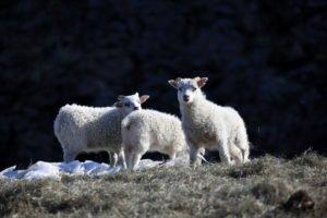 GJ-94-Iceland-in-a-nutshell - GJ-94-Icelandic-lambs.jpg