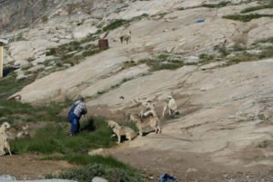 GJ-WGR-5-Amazing-days-Ilulissat-5-days - GJ-WGR-5-Feeding-the-dogs-1.jpg - Image copyright by courtesy of Visit Greenland and their contracted photographers